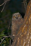 Baby great horned owl. A young great horned owl sits in a tree as its mother hunts Royalty Free Stock Images
