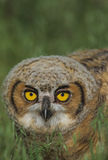 Baby Great Horned  Owl Stock Photography