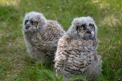 Baby Great Horned Owl (Bubo virginianus), also known as the tige. R owl is a large owl native to the Americas Royalty Free Stock Images