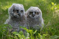 Baby Great Horned Owl (Bubo virginianus), also known as the tige. R owl is a large owl native to the Americas Royalty Free Stock Photo
