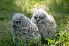 Baby Great Horned Owl (Bubo virginianus), also known as the tige. R owl is a large owl native to the Americas Stock Photo