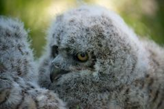 Baby Great Horned Owl (Bubo virginianus), also known as the tige. R owl is a large owl native to the Americas Royalty Free Stock Photography