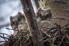 Baby Great Horned Owl Royalty Free Stock Photo