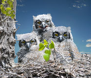 Baby Great Horned Owls. Three Great Horned Owl babies, sitting in a nest Royalty Free Stock Photos