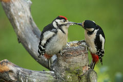 A baby Great spotted Woodpecker, Dendrocopos major, being fed by its mum. Stock Photos