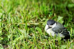 Baby Great Tit bird Stock Photography