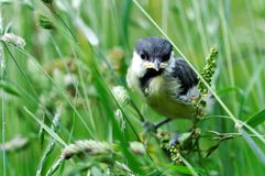 Baby Great Tit bird Stock Photo
