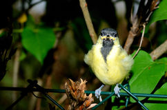 Baby great tit Stock Photography