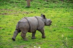 Baby greater horned rhino. Having fun stock photography