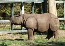 Baby Greater one-horned rhino at Chester Zoo. A baby greater one-horned rhino at Chester Zoo. This is a rare species and the baby was born in May 2018 stock images