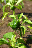 Baby Green Bell Pepper Plant Royalty Free Stock Photography