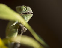 A baby green chameleon who eating a worm Royalty Free Stock Image