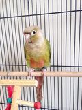 A Baby Green-Cheeked Parakeet. Stock Photography