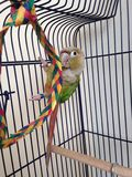A Baby Green-Cheeked Parakeet Chewing a Palm Tree Chew Toy. Royalty Free Stock Photography