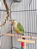 A Baby Green-Cheeked Parakeet with a Palm Tree Chew Toy. Royalty Free Stock Image