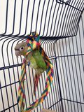 A Baby Green-Cheeked Parakeet with a Palm Tree Chew Toy. Stock Images