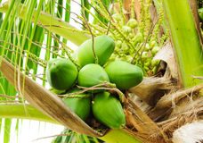 Baby Green Cocnut At Tree Royalty Free Stock Images