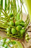Baby Green cocnut at tree Stock Photo