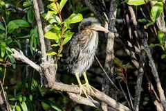 Baby Green Heron (Butorides virescens) Royalty Free Stock Photography