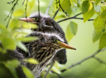 Baby Green Heron Stock Photo