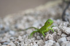Baby Green Iguana on a gravel path Royalty Free Stock Photo