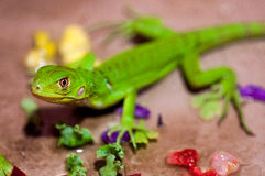 A Baby Green Iguana Stock Photo