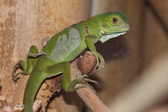 Baby Green Leguan Stock Photos