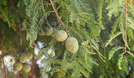 Baby green pine cone, seeds, branch needles, outdoor close up Stock Image