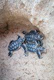 Baby Green sea turtle hatchlings in their nest. stock images