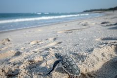 Baby Green sea turtle making its way to the Ocean. royalty free stock photos