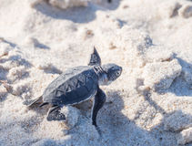 Baby green sea turtle Stock Photos