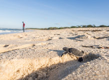 Baby green sea turtle Stock Photography