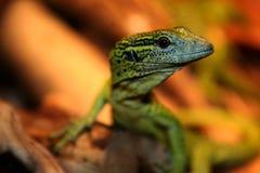 Baby Green Tree Monitor - Varanus prasinus Royalty Free Stock Photography