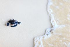 Baby green turtle. Making its way to the ocean royalty free stock photos