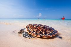 Baby Green Turtle going to the ocean for the first time, release. Freedom. Colorful blue seawater, light blue sky, and tourist in red long sleeve t-shirt royalty free stock photography