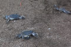 Baby green turtles on the beach in Costa Rica. Baby green turtles Chelonia mydas crawling to the ocean on the beach in Costa Rica stock images