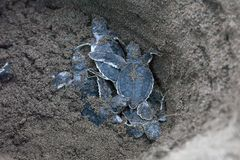 Baby green turtles on the beach in Costa Rica. Baby green turtles Chelonia mydas in the nest and ready to crawl to the ocean in Costa Rica royalty free stock images
