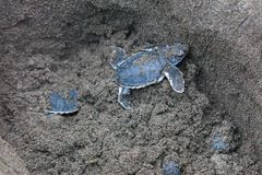 Baby green turtles on the beach in Costa Rica. Baby green turtles Chelonia mydas in the nest and ready to crawl to the ocean in Costa Rica stock photo