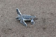 Baby green turtles on the beach in Costa Rica. A baby green turtle Chelonia mydas crawling to the ocean on the beach in Costa Rica royalty free stock photography