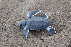 Baby green turtles on the beach in Costa Rica. A baby green turtle Chelonia mydas crawling to the ocean on the beach in Costa Rica stock images