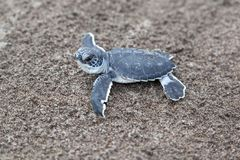 Baby green turtles on the beach in Costa Rica. A baby green turtle Chelonia mydas crawling to the ocean on the beach in Costa Rica royalty free stock photo