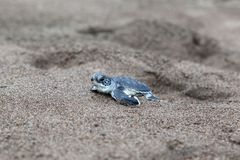 Baby green turtles on the beach in Costa Rica. A baby green turtle Chelonia mydas crawling to the ocean on the beach in Costa Rica royalty free stock image