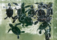 Baby green turtles Stock Photo