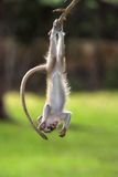Baby Green Vervet Monkey hanging upside. Down from a tree in Kenya Africa Stock Photos