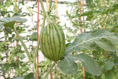 Baby green watermelon in plantation.  Royalty Free Stock Photo