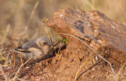 A baby Grey-capped Social Weaver. A young Grey-capped Social Weaver (Pseudonigrita arnaudi) moves helplessly on the ground risking to be caught by any predator Royalty Free Stock Images