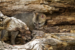 Baby Grey Fox in Den Stock Photography