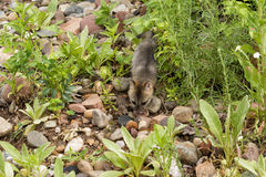 Baby Grey Fox Exploring stock foto's
