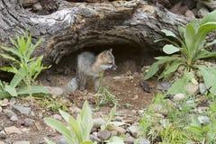Baby Grey Fox Exploring Near zijn Hol stock foto