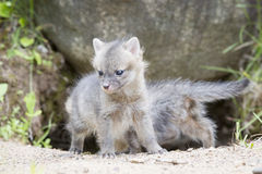 Baby grey fox kit standing by den Stock Photos
